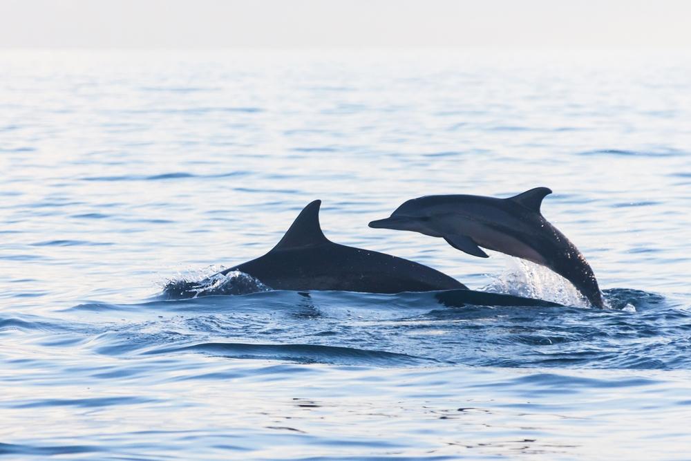 Poszukiwanie delfinów niedaleko miejscości Lovinia